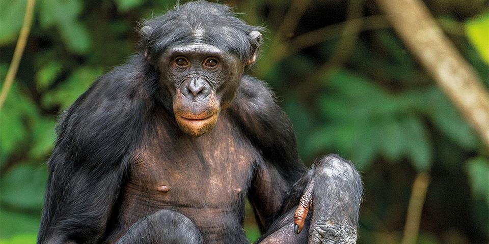 bonobo-kopieren