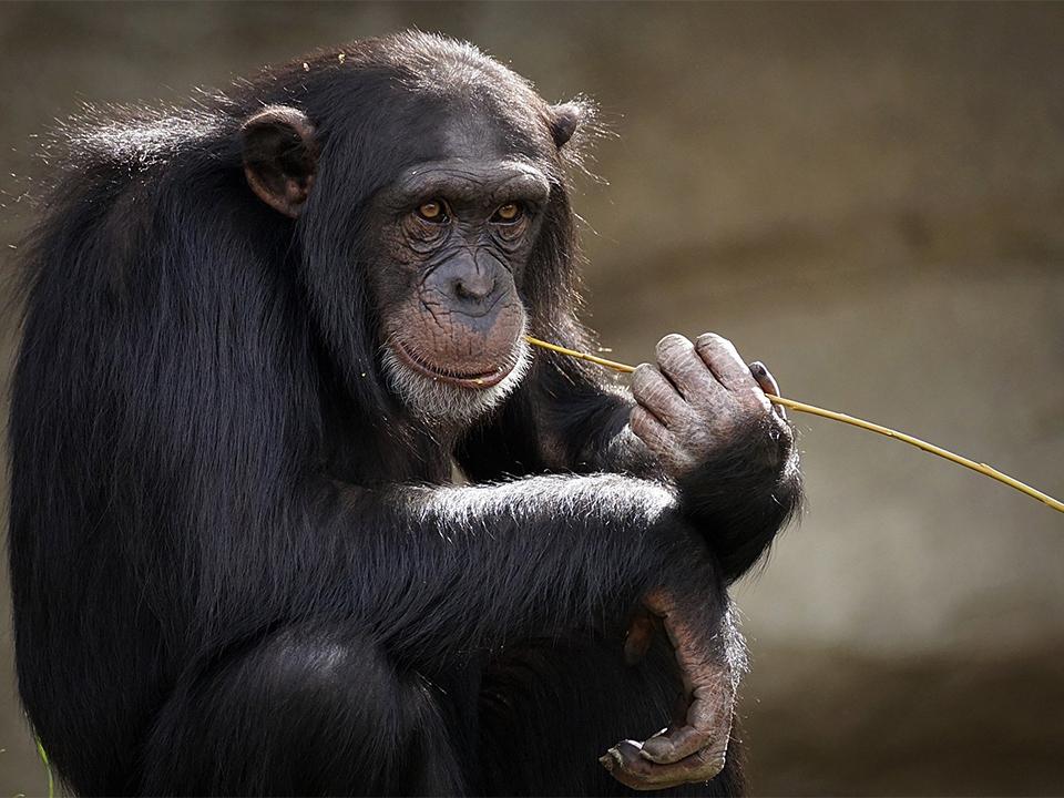 chimpanzee-3703230_1920 kopiëren