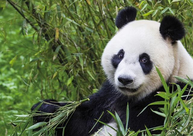 Panda Wu Wen kopiëren